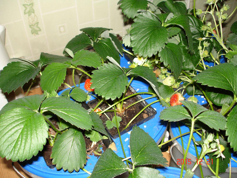 Клубника выращивание дома в квартире 15